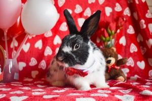 RAFFI IS A YOUNG MALE BUNNY He is vaccinated against RHVD2 but will require an annual booster RAFF