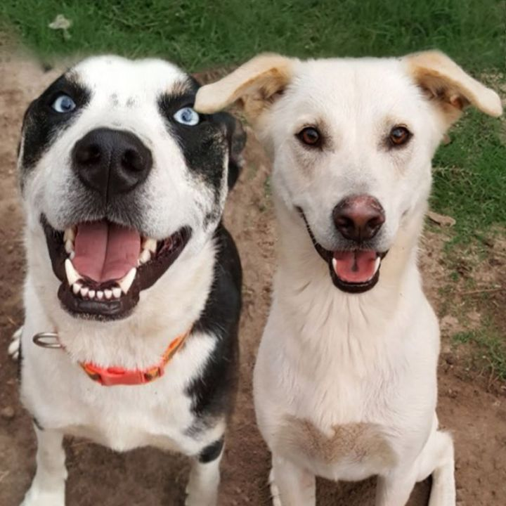 Nova and Sochi, an adoptable Labrador Retriever & Husky Mix in Westfield, NY