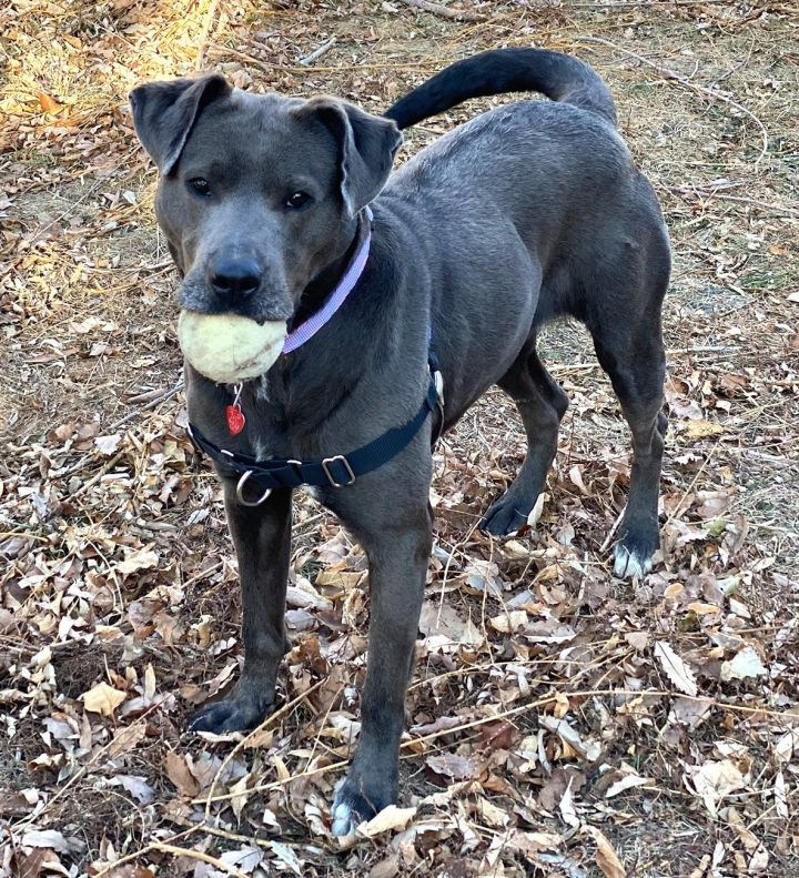 Silver, an adoptable Labrador Retriever Mix in Loveland, CO