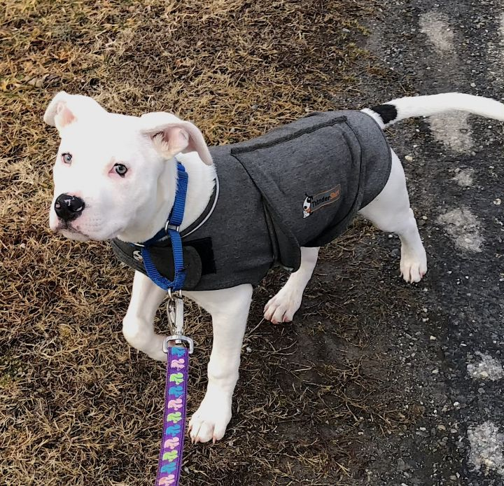 Ringo, an adoptable American Staffordshire Terrier & Boxer Mix in Bedford, VA