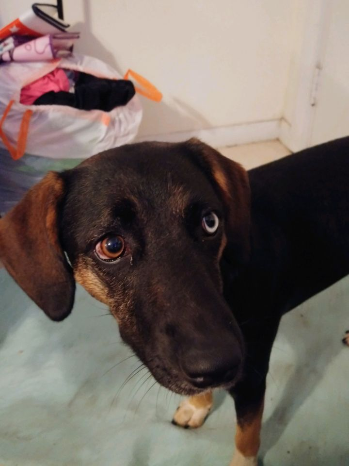 Lady, an adopted Bluetick Coonhound Mix in Saint Augustine, FL