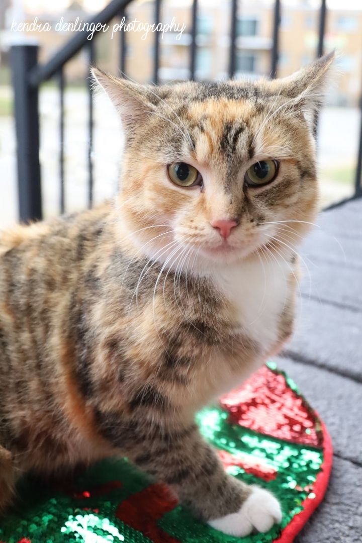 Nieberding, an adopted Domestic Short Hair in Cincinnati, OH
