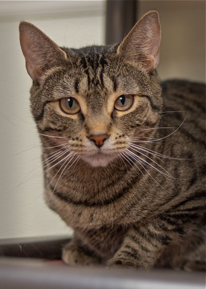 Foster to Adopt: Spark, an adopted Domestic Short Hair in Harrisburg, PA_image-1