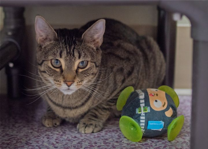 Foster to Adopt: Spark, an adopted Domestic Short Hair in Harrisburg, PA_image-5