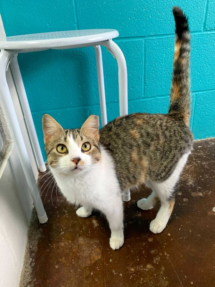 Clarice, an adoptable Domestic Short Hair Mix in Carencro, LA