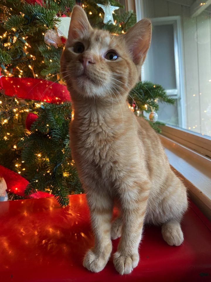 Tang, an adoptable Domestic Short Hair Mix in Portland, OR