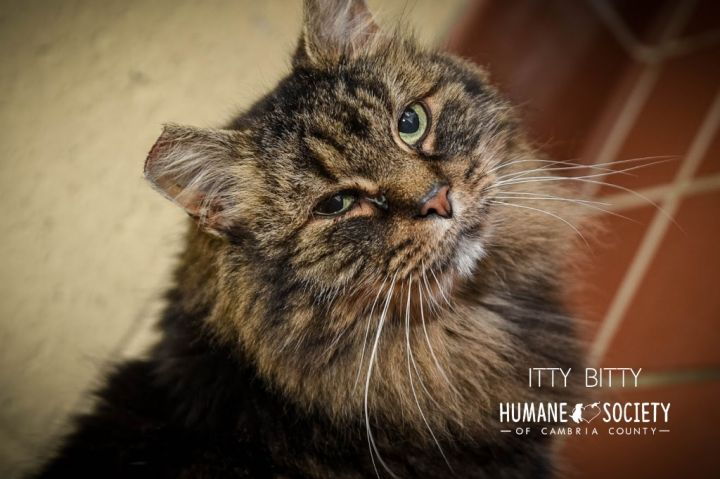 Itty Bitty, an adoptable Domestic Long Hair in Johnstown, PA