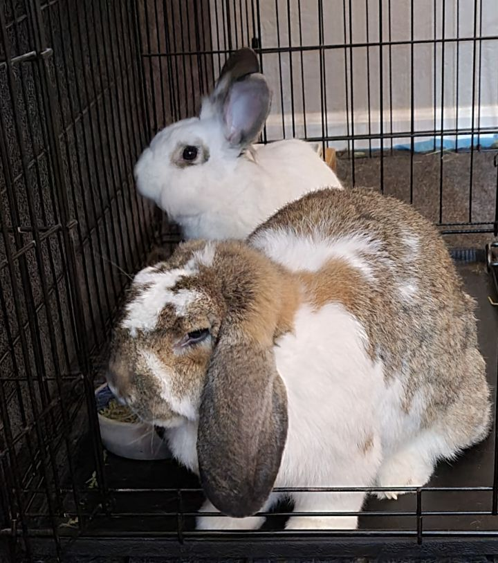 Bella & Edward, an adoptable Flemish Giant in Livermore, CA