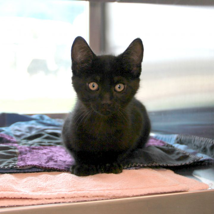 Troy, an adopted Domestic Short Hair Mix in Clovis, CA