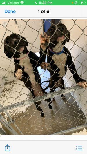 Becca & Shane PR Lab Pointer Puppies