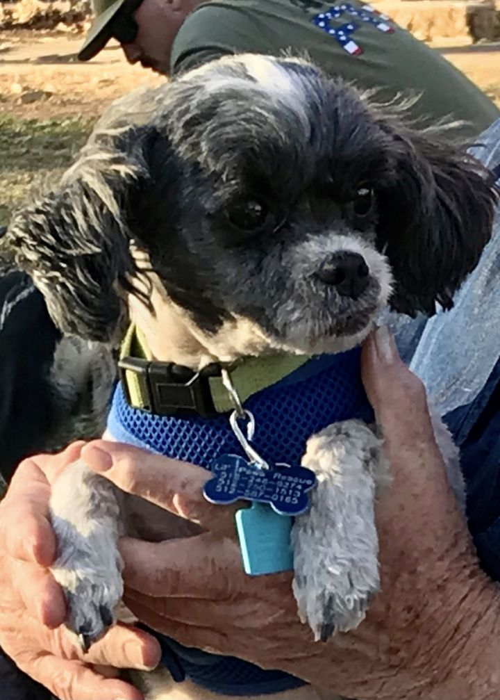Charlie, an adoptable Shih Tzu & Poodle Mix in Austin, TX