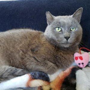 Buster Domestic Short Hair Cat