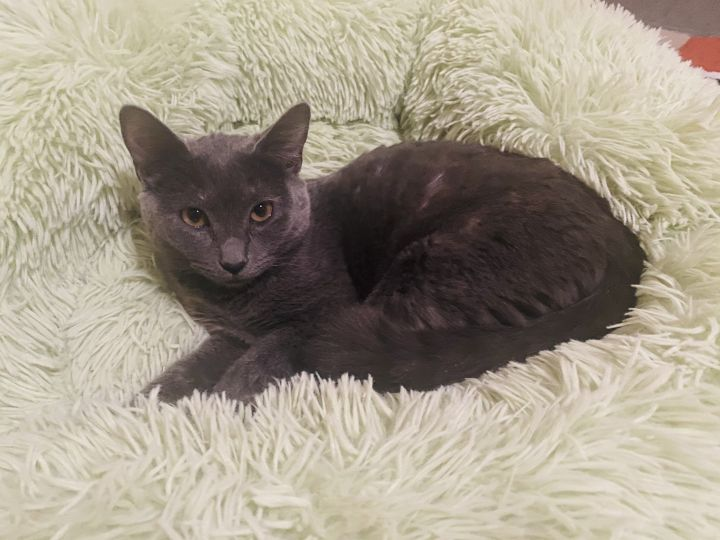 Meeka, an adopted Domestic Short Hair in Mission Viejo, CA