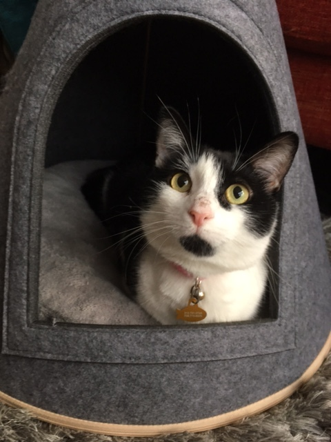 Oreo, an adopted Domestic Short Hair Mix in Chicago, IL