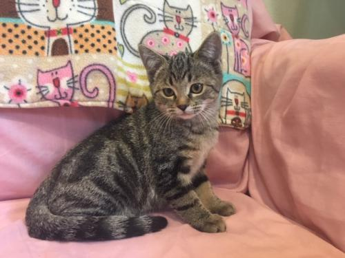 Sparrow, an adopted Tabby Mix in Agoura Hills, CA