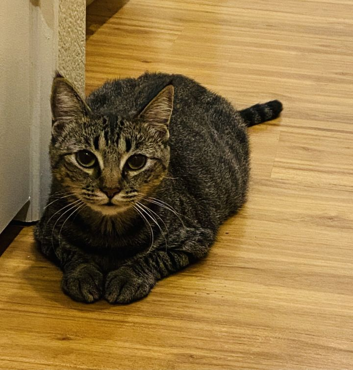 Stormy, an adoptable Tabby & Domestic Short Hair Mix in Mission Viejo, CA