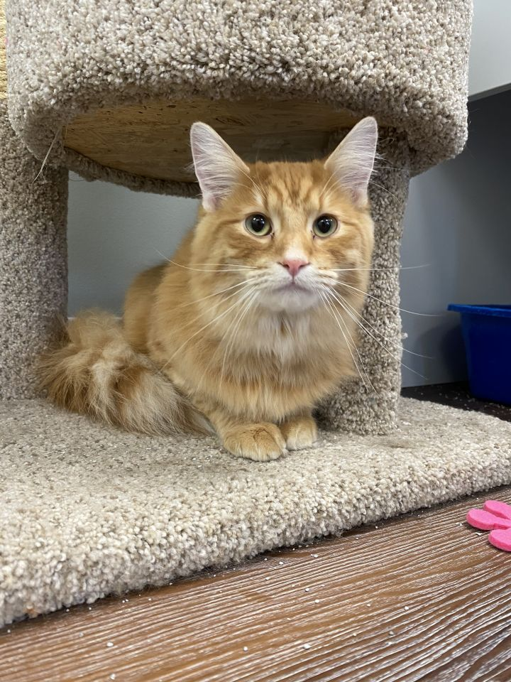 Linus, an adopted Domestic Long Hair in Naperville, IL