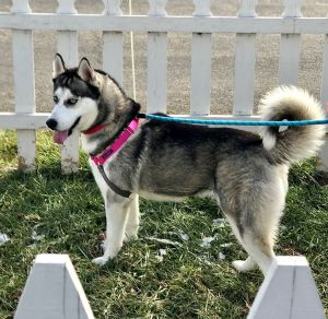 This gorgeous Siberian husky is Zoey She is 2-years-old and weighs 54 lbs She has a beautiful sof
