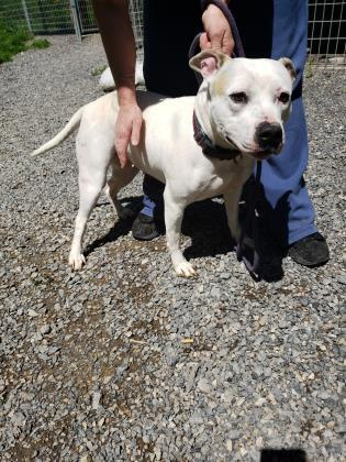 Misty, an adoptable Pit Bull Terrier Mix in Cumberland, MD