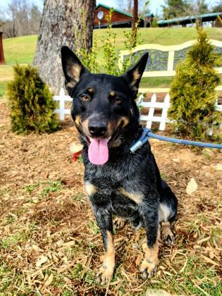 Bandit, an adoptable Cattle Dog Mix in Cumberland, MD