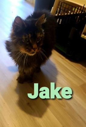 Jake, an adoptable Domestic Medium Hair & Domestic Short Hair Mix in Cumberland, MD