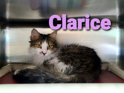 Clarice, an adoptable Domestic Medium Hair & Domestic Short Hair Mix in Cumberland, MD