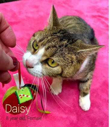 Daisy, an adoptable Domestic Short Hair in Cumberland, MD