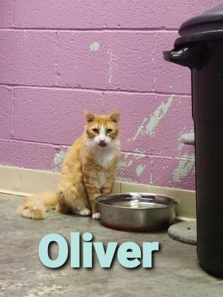 Oliver, an adoptable Domestic Medium Hair & Domestic Short Hair Mix in Cumberland, MD