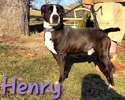 Henry, an adoptable Pit Bull Terrier Mix in Cumberland, MD_image-1