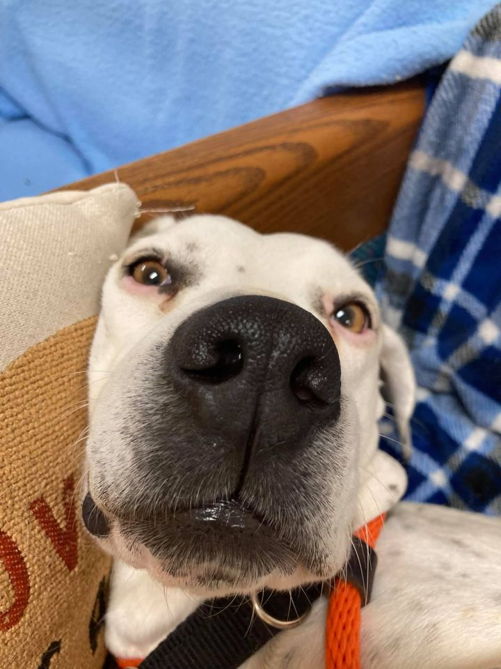 Josey (Adoption Fee Sponsored!), an adoptable Dalmatian & Pit Bull Terrier Mix in Neillsville, WI_image-1
