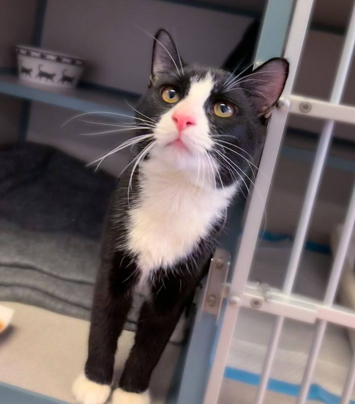 Harlem, an adopted Domestic Short Hair & Tuxedo Mix in New Rochelle, NY