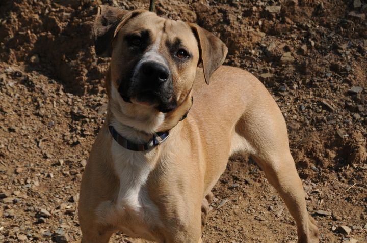 Duke 2, an adoptable Catahoula Leopard Dog Mix in Jamestown, CA