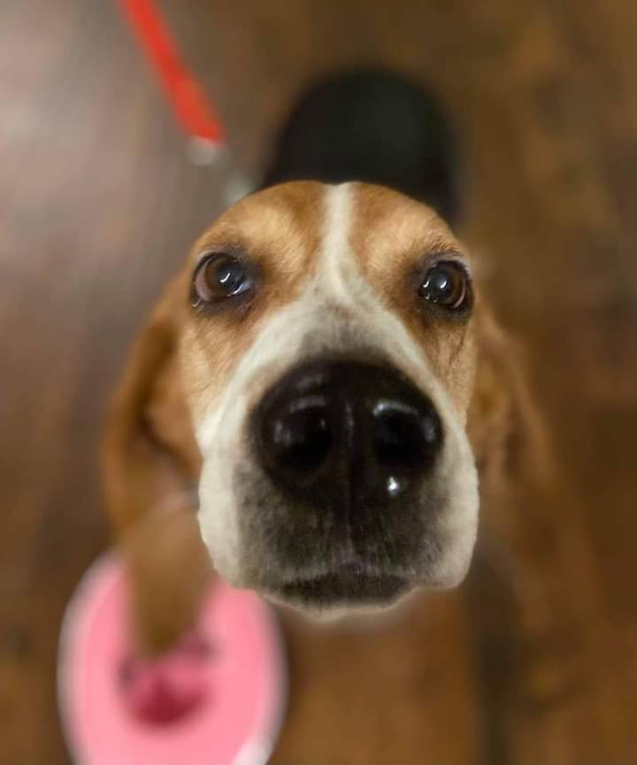 Susie Q, an adoptable Beagle & Basset Hound Mix in Knoxville, TN
