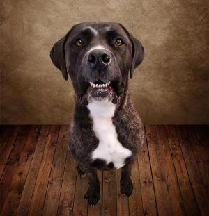 FINN Cane Corso Dog