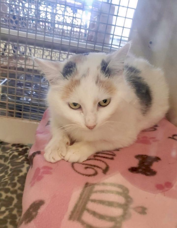 Chatty Cathy, an adopted Calico & Domestic Short Hair Mix in Orland Park, IL