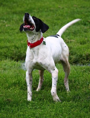 KATE, an adopted Pointer Mix in East China, MI