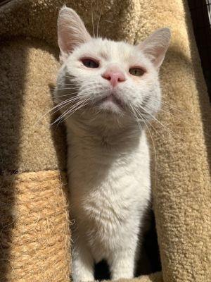 Olaf Domestic Short Hair Cat