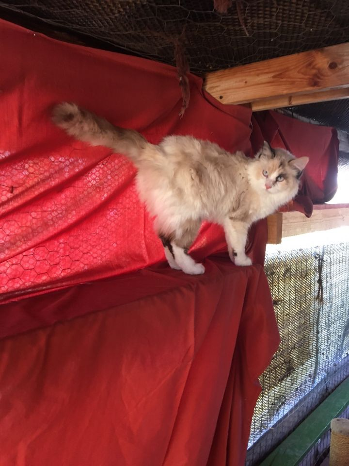 Dulce, an adoptable Domestic Medium Hair & Ragdoll Mix in Williamsburg, NM