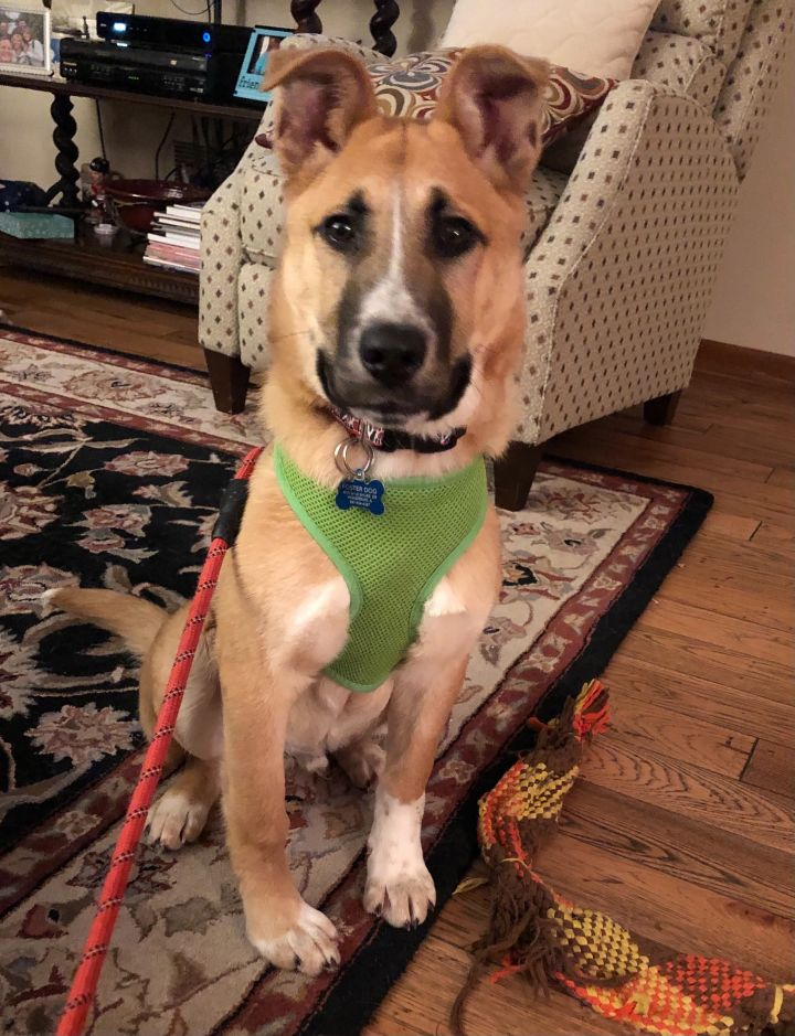 Tachoma, an adoptable Shepherd Mix in Hainesville, IL