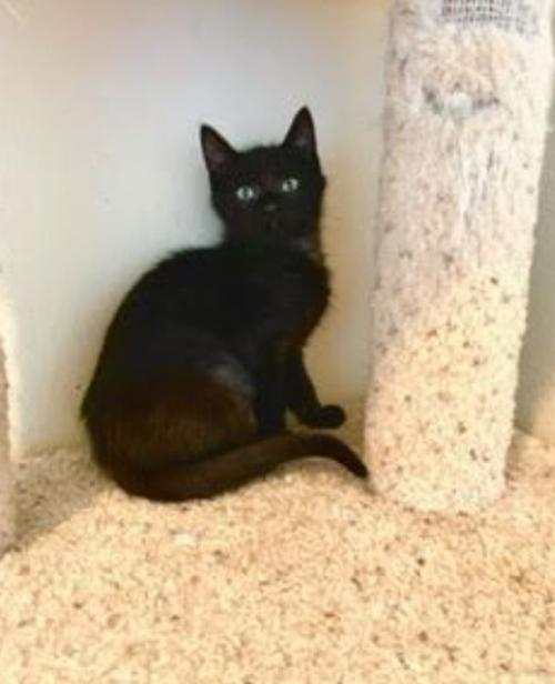 Ken Miller (bonded w/ Kim Kelly), an adoptable Domestic Short Hair Mix in Redmond, WA