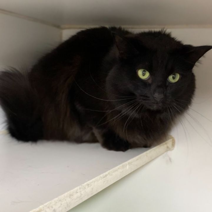 SOPHIA, an adopted Domestic Long Hair in Tinton Falls, NJ