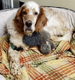 Lucky - tripod English Setter Dog