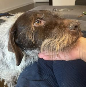 Fritz Wirehaired Pointing Griffon Dog