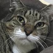 Toasty Domestic Short Hair Cat