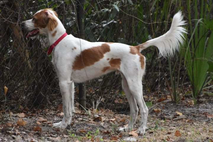 Henry & Jack, an adoptable English Setter in Sanford, FL
