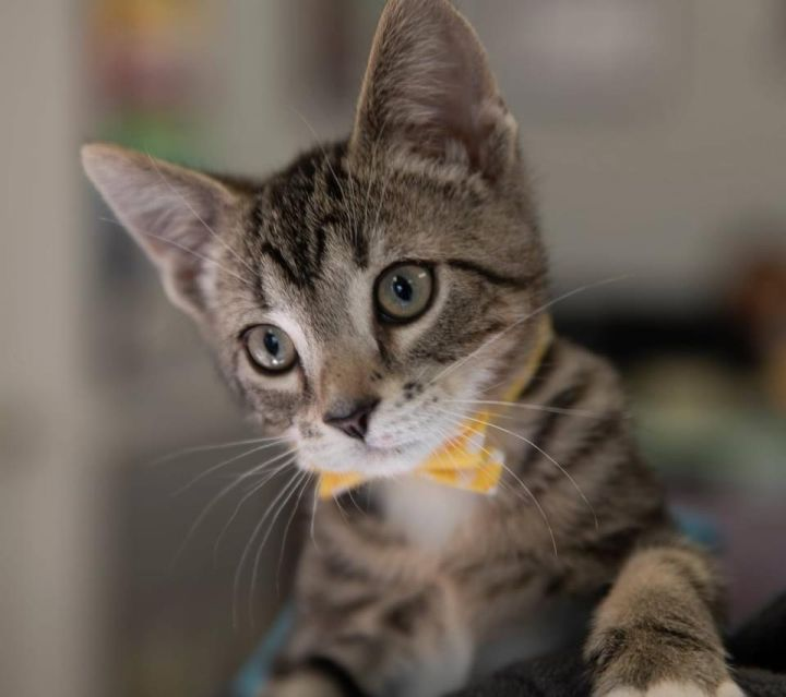 Ollie, an adopted Domestic Short Hair & Tabby Mix in Duluth, GA