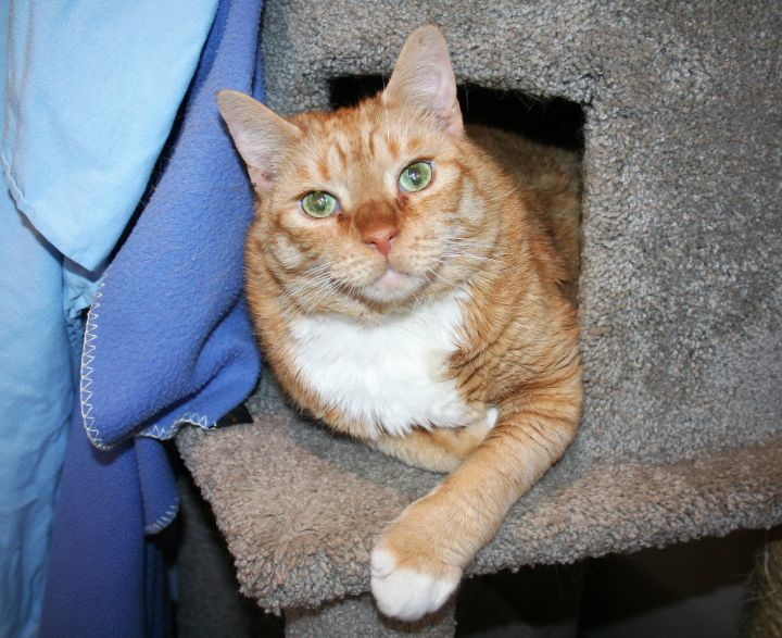 Tabasco, an adopted Domestic Short Hair in Manchester, CT