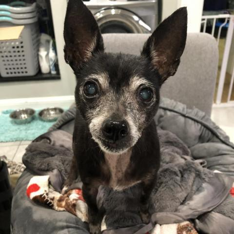 Pogo, an adoptable Chihuahua in Chicago, IL