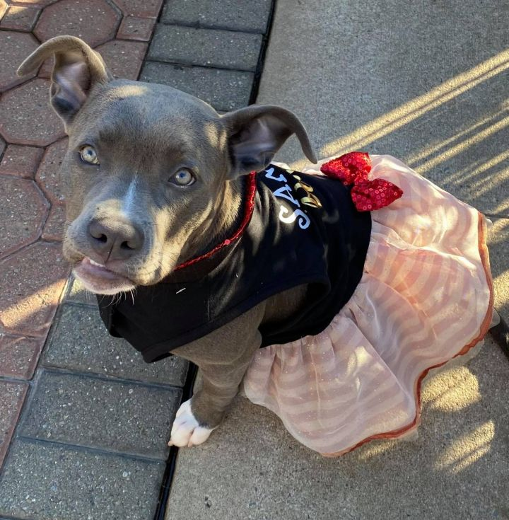 Venus, an adopted American Staffordshire Terrier Mix in Bronx, NY