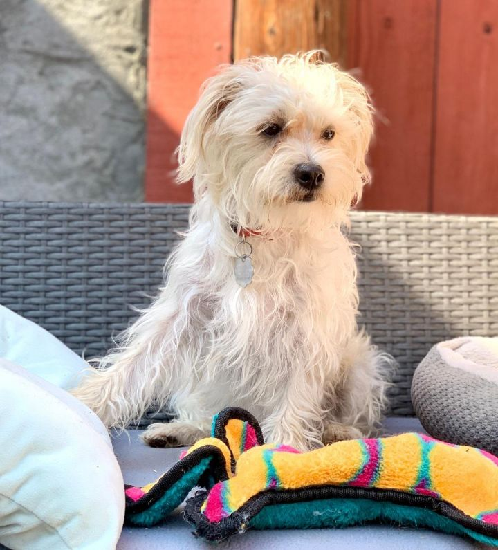 Max, an adopted Maltese & Poodle Mix in Santa Monica, CA_image-1